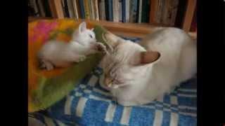 Когда мама кошка не хочет играть с котёнком! Тайские кошки - это чудо! Funny Cats