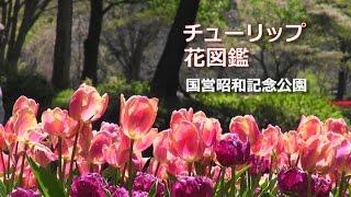 国営昭和記念公園のチューリップ。今年は106品種の花が咲いています...