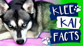 Alaskan Klee Kai Facts: The Good, The Bad & The Hairy  LIVE Puppy Cam