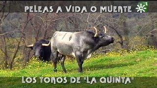 Evitar las peleas de los toros de la Quinta (1/2)   Toros desde Andalucía