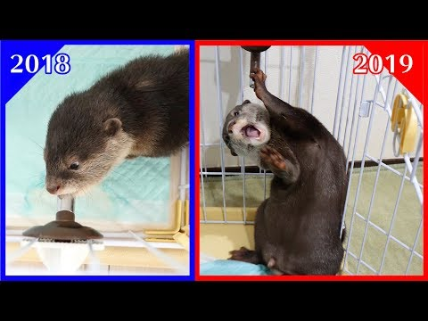 【衝撃】水の飲み方が可愛い赤ちゃんカワウソだったビンゴが・・・現在と過去を比較してみた![Past and Present] Otter Bingo drinking water