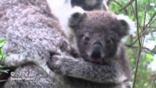 Repeat youtube video Baby Koala Tries to Eat Leaves For The First Time