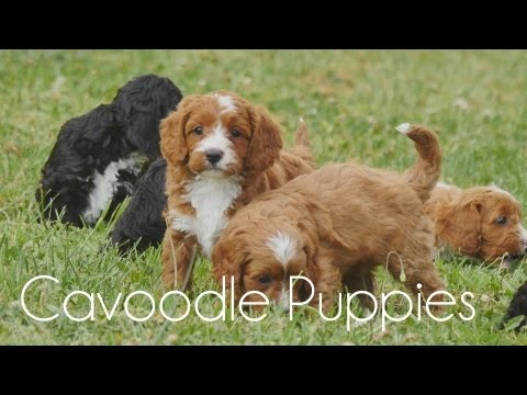 Cavoodle puppies playing in the grass!!!