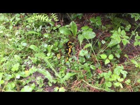 Salamander - Czech Republic (Europe)