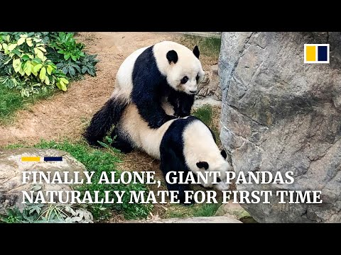 Giant Pandas In Hong Kong Mate Naturally For The First Time In A Decade