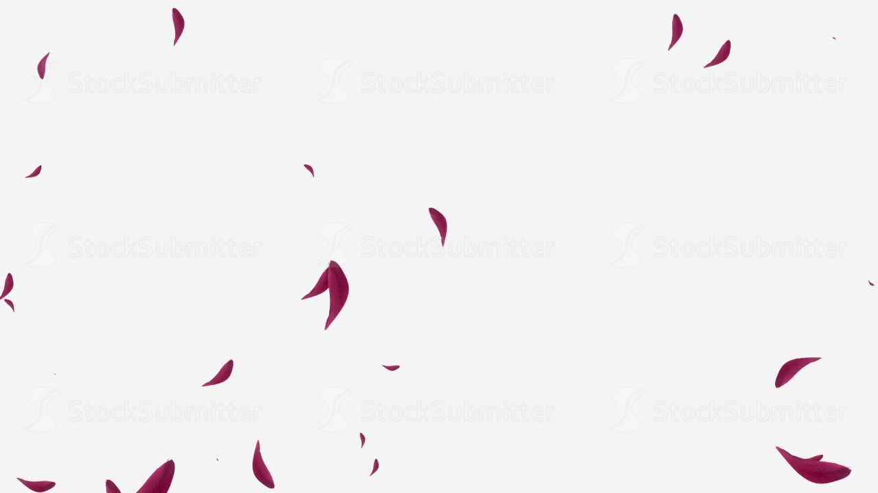 Falling Red Rose Petals On White Background Youtube