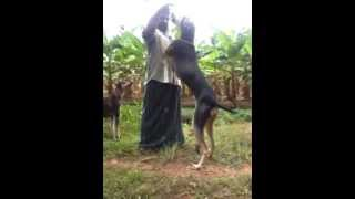 Kanni/chippiparai Dog Sharing His Love With His Owner