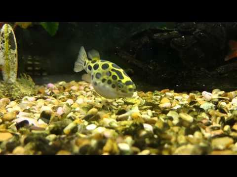Green Spotted Pufferfish - Freshwater Community Tank. HD