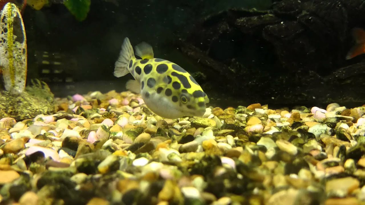 Green spotted pufferfish freshwater community tank hd for Fresh water puffer fish