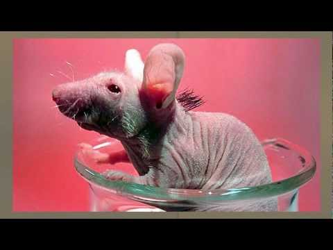 Cure For Baldness? Stem Cells Help Grow Hair on Hairless Mice
