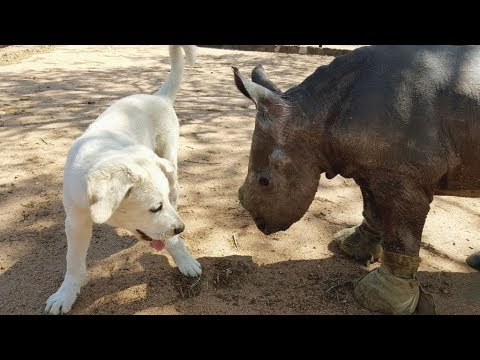 Rhino, dog and sheep: amazing rescue and friendship for life