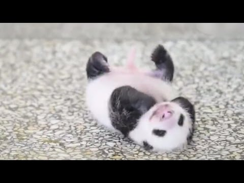 WATCH: Tiny baby panda tries to roll over for first time