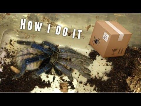 Packing a Cobalt Blue Tarantula for Shipping !!!
