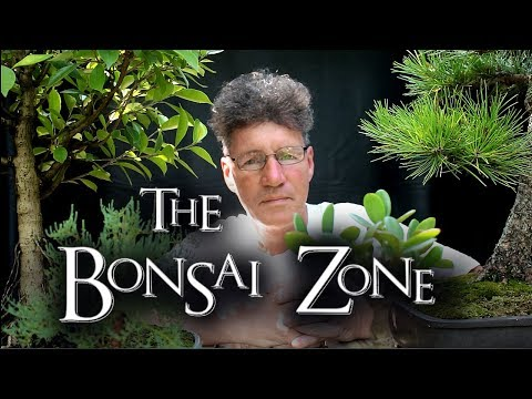 The Bonsai Zone, Early Work on My Show Trees, Part 2, July 2017