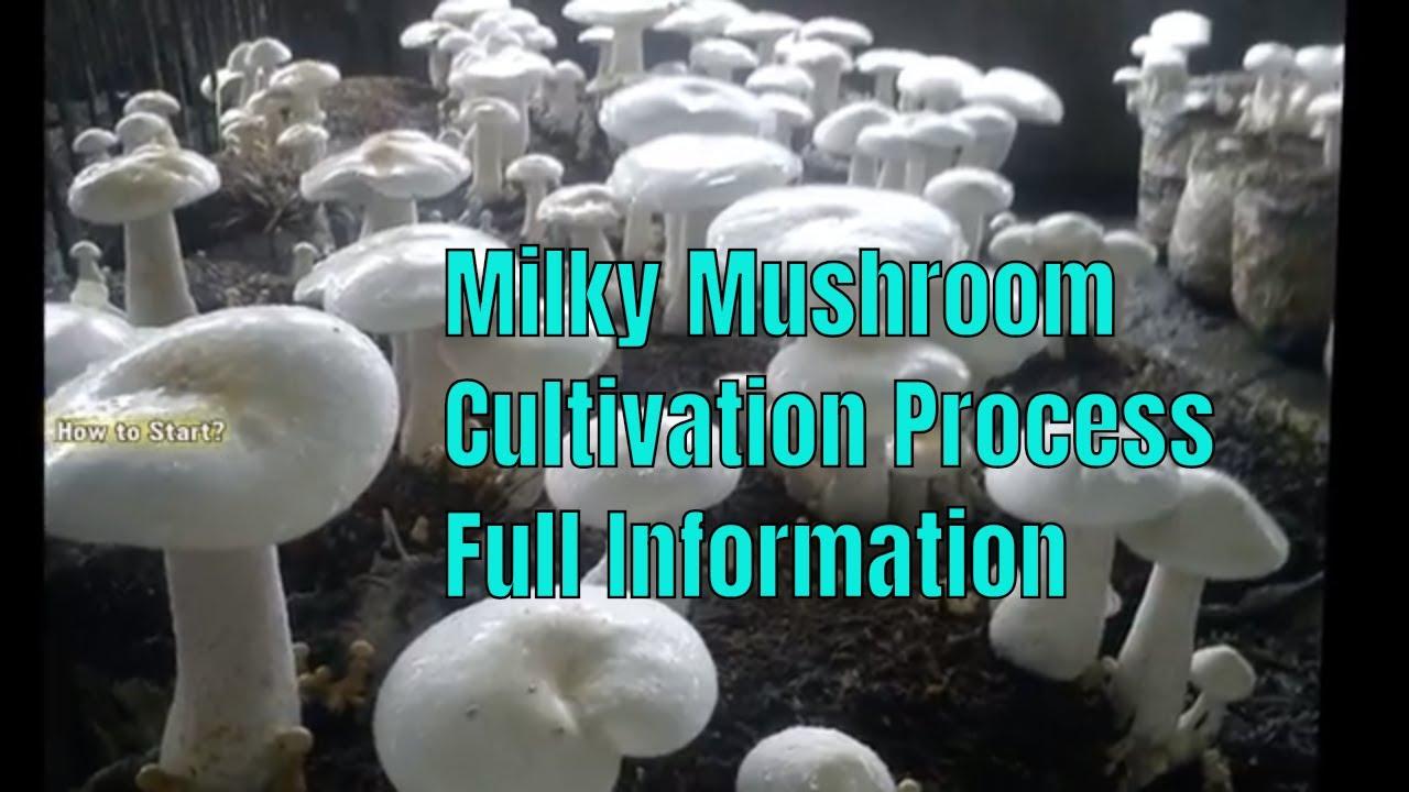 Milky Mushroom Cultivation Process Full Information