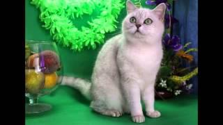 Британcкая кошка серебристая шиншилла Анно Домини Холеная Красотка, август 2014