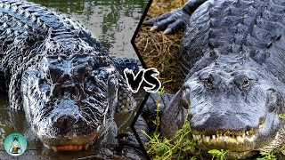 AMERICAN ALLIGATOR VS BLACK CAIMAN - Which is the strongest?