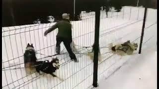 Избиение ездовых собак в Сочи