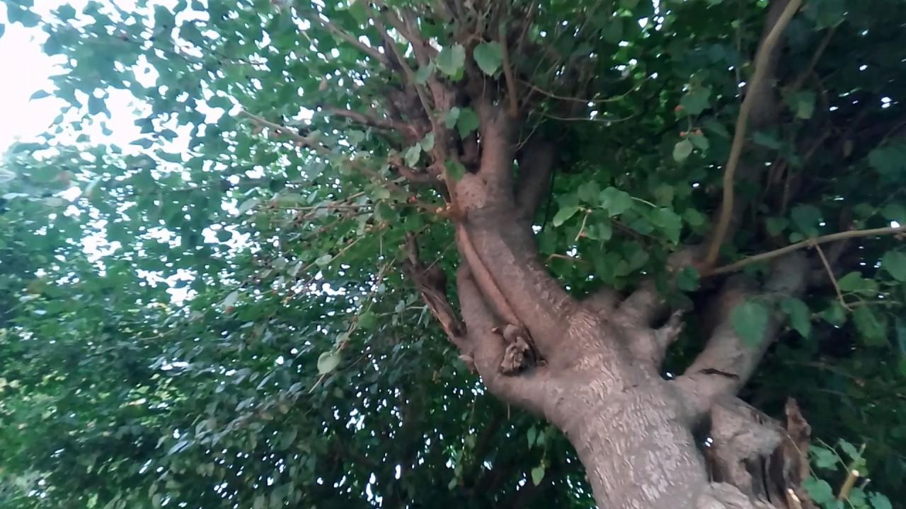 शहतूत के पेड़ देखिए, फल से लदे हुए हैं - YouTube