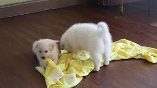 Maremma Sheepdog Puppies For Sale