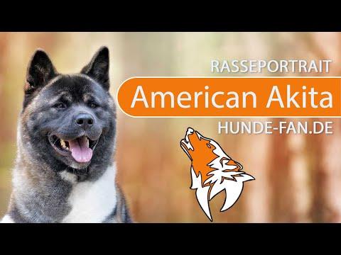 American Akita [2018] Rasse, Aussehen & Charakter