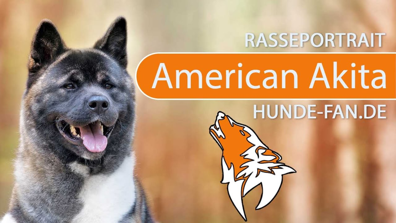 American Akita 2019 Charakter Wesen Hunde Fan De