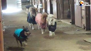 Mini Horses Race Dog Around A Barn