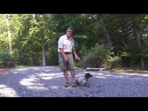 German Shorthaired Pointer Puppy Training North Carolina   Dottie