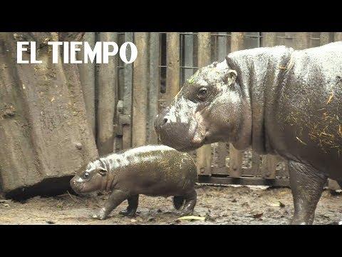 Hipopótamo pigmeo que nació en el Buin Zoo de Santiago | EL TIEMPO
