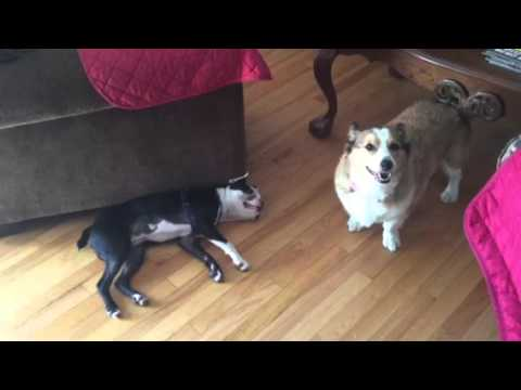 corgi boston terrier boston terrier plays dead vs corgi youtube 6028