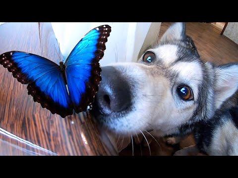 Вопрос: Есть ли у бабочек пупок?