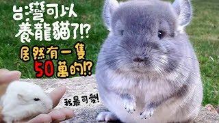 【從零開始養】台灣可以合法養龍貓!!?小捷運跟龍貓親密接觸!【許伯簡芝】飼養分享