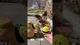BEE  HAPPY  Cute Dog Tricks With My Little Yorkie. Yorkie Training.