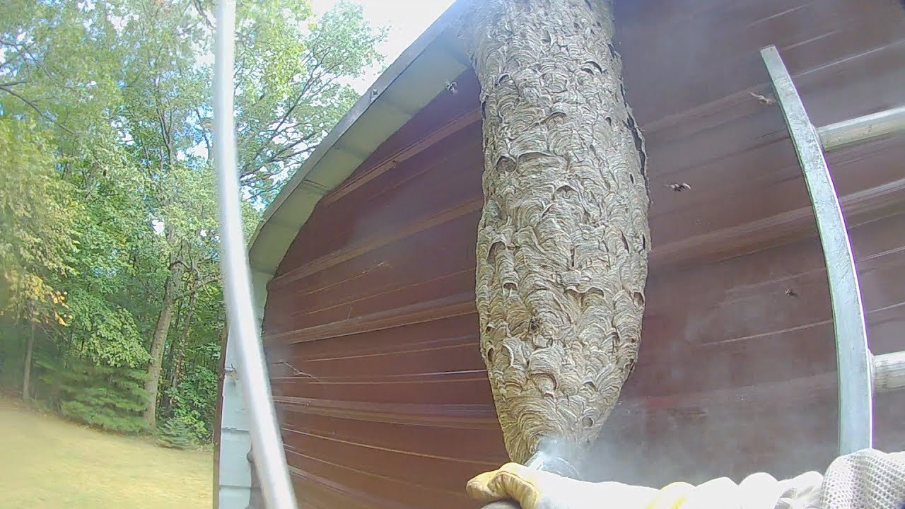 5 foot tall Hornets nest attack while it's destroyed