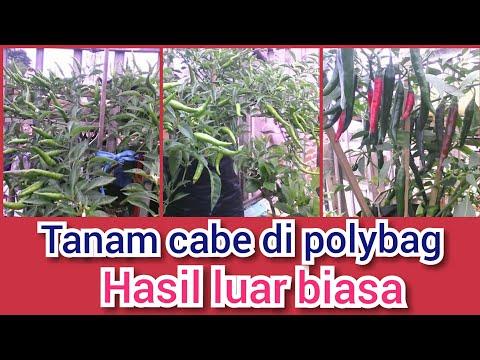 RESEP RAHASIA  Menanam Cabe Di Polybag  (inspirasi Berkebun)
