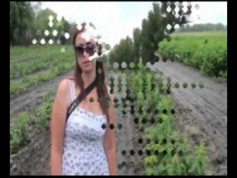 Ремонтантная малина в России - YouTube