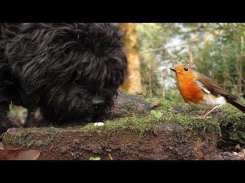 Vidéos pour les chiens pour regarder les oiseaux