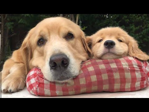 Funniest & Cutest Golden Retriever Puppies #1- Funny Puppy Videos 2020