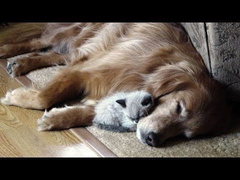 'Dogs Meeting Kittens For The First Time Compilation' || CFS