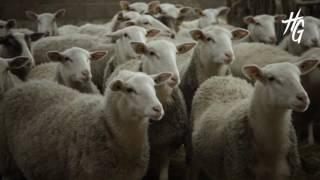 L'agneau des Pyrénées