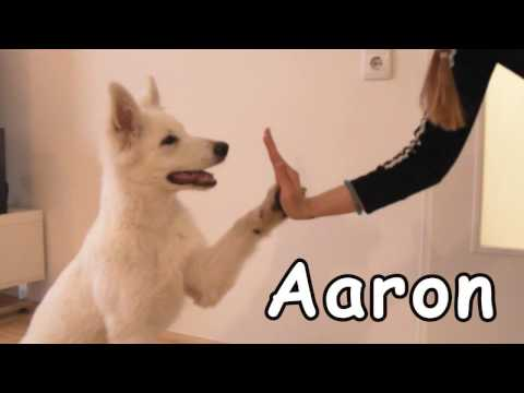 White Shepherd PUPPY tricks