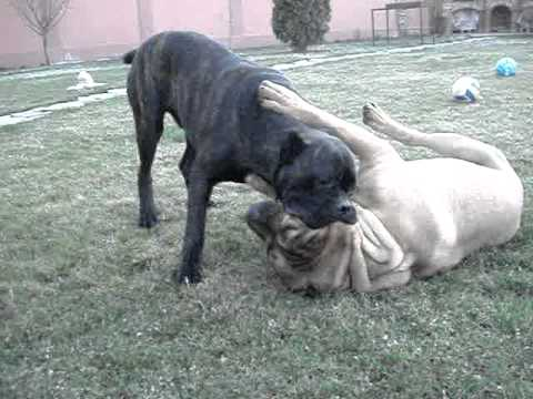 A sanders presa can excel in many working fields, including personal protection, civil work, guard work, weight pull, and ring sports. cane corso vs dogo canario - YouTube