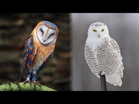 10 Most Beautiful Owl Birds on Planet Earth