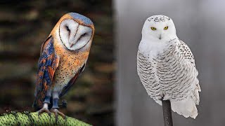 10 Most Beautiful Owls on Planet Earth