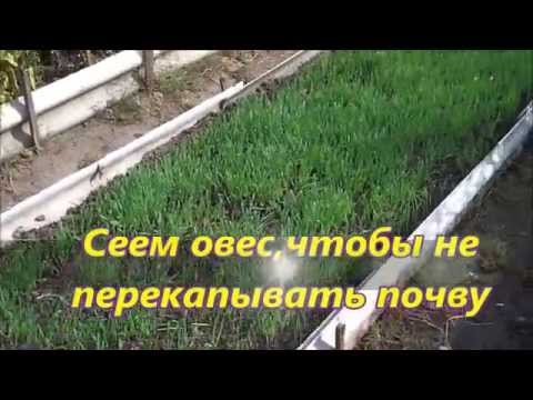 Горчица - хороший сидерат Почвы и удобрения 2
