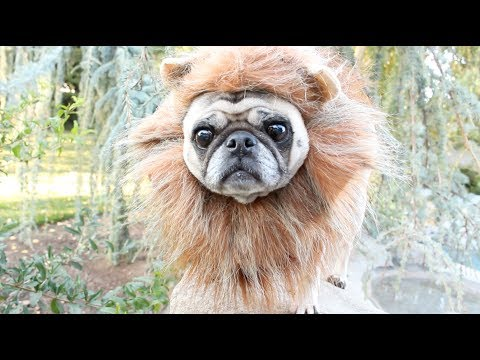 niles the pug hello adele cover funnydog tv