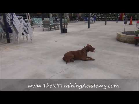 Pit Bull With Off Leash Training - The K9 Training Academy - Roxy
