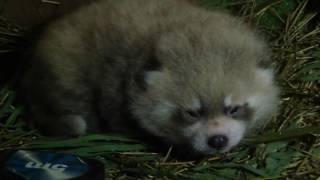 A baby red panda thumbnail