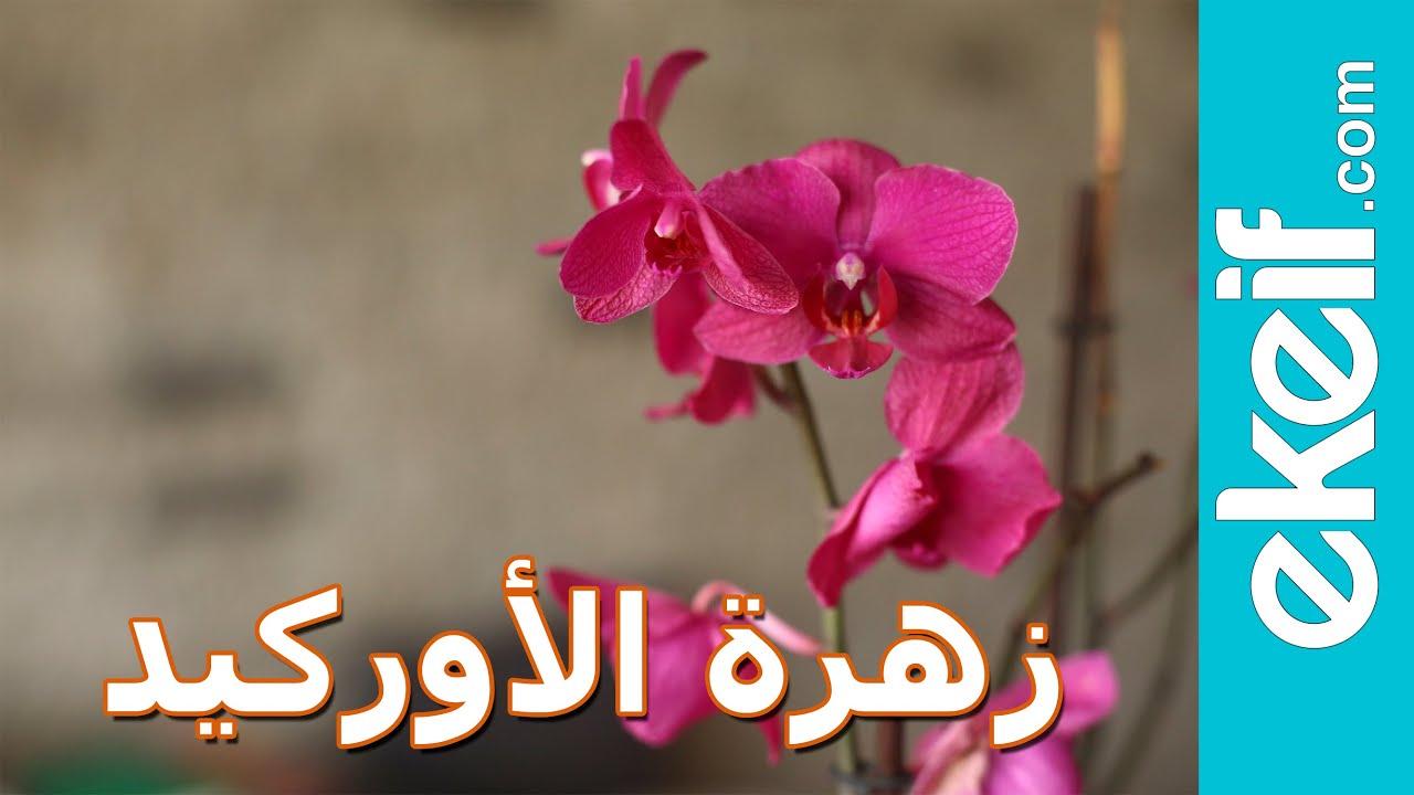 0e937c66081d6 كيف نعتني بزهرة الأوركيد بشكلٍ صحيح؟ Orchid Care - YouTube