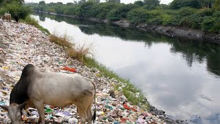 Tilt shot of an Indian bull eating plastic and trash at a riverside garbage dump in India